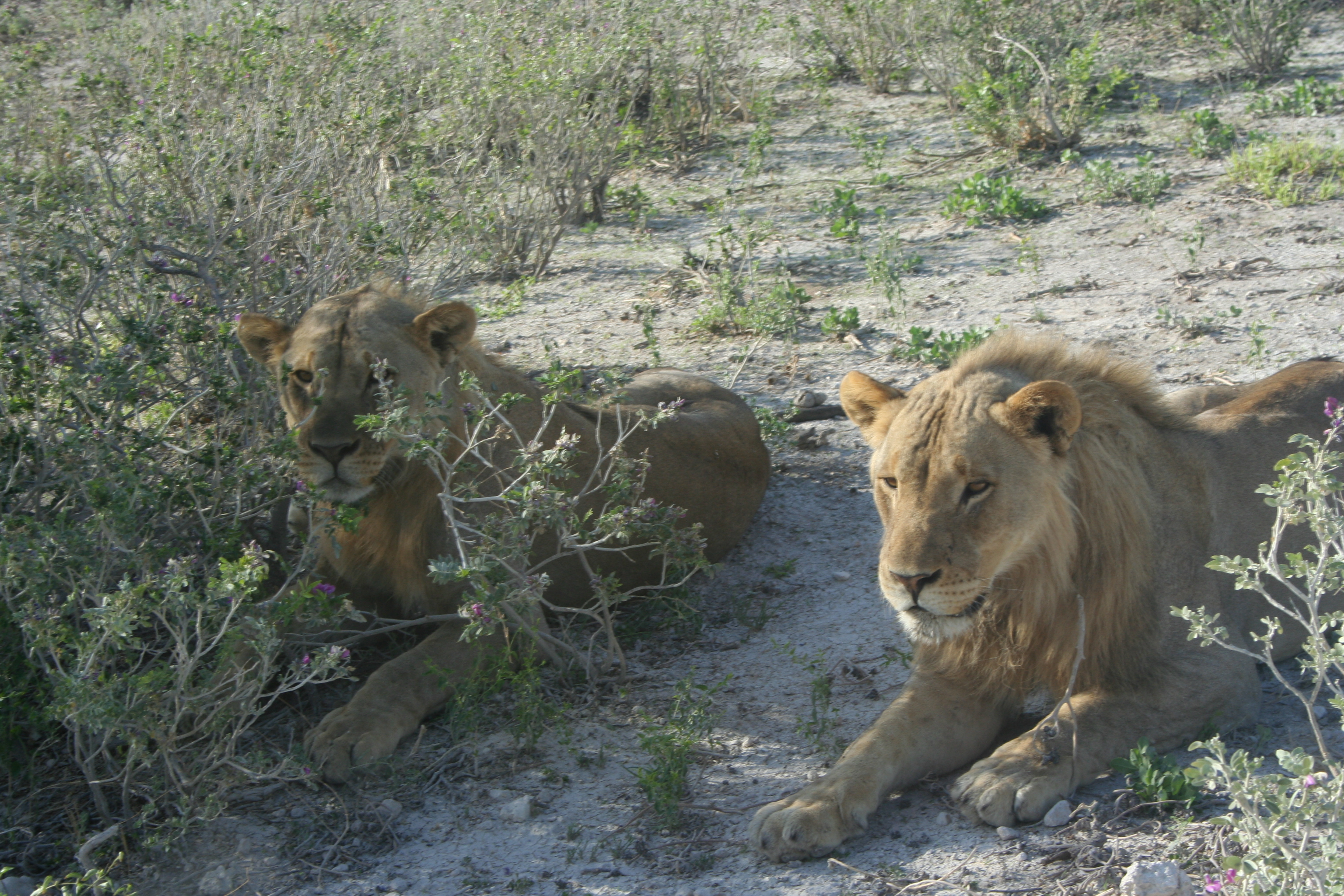 Lions relaxing in Okakujue.JPG